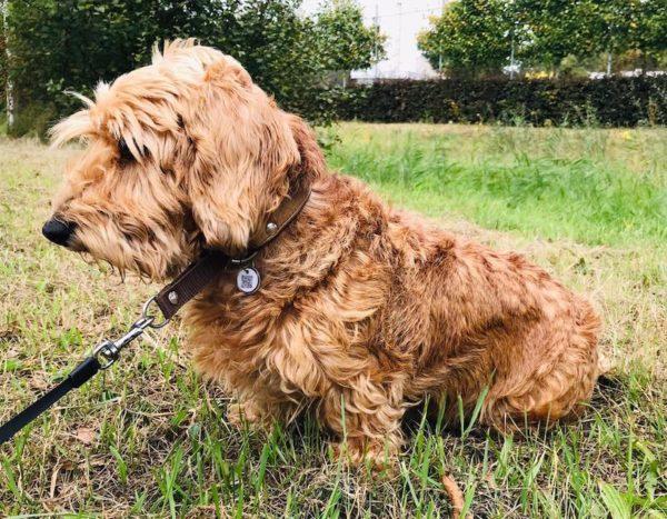 Dierpenning aan halsband hond